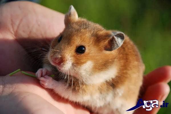 عکس همستر در دست انسان