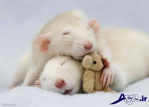 عکس همسترهای سفید