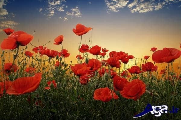 تصاویر گل های زیبا لاله