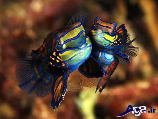عکس ماهی ماندارین