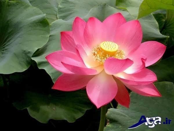 تصاویر گل های زیبا نیلوفر آبی