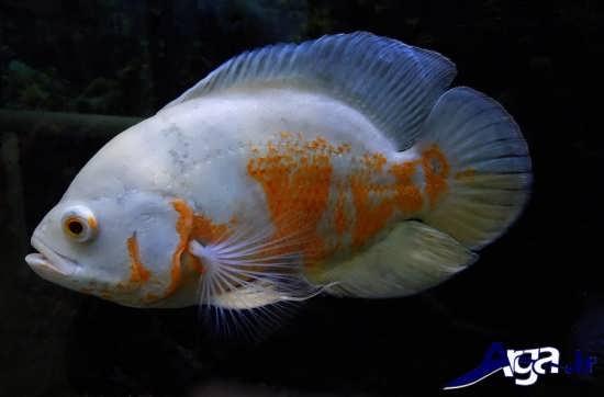 عکس ماهی اسکار