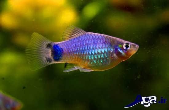 عکس ماهی پلاتی