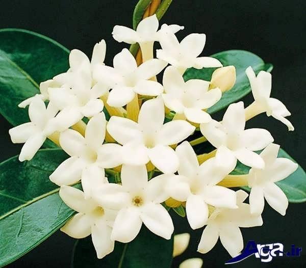 تصاویر گل های زیبا رازقی یاس