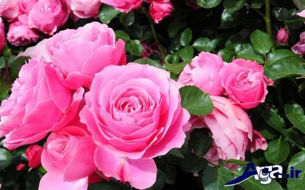 تصاویر گل های زیبا رز صورتی