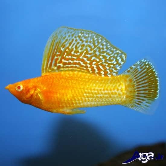 عکس ماهی مولی باله بادبانی