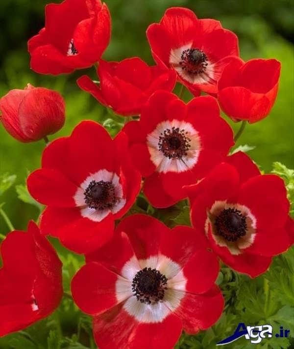 تصاویر گل های زیبا شقایق