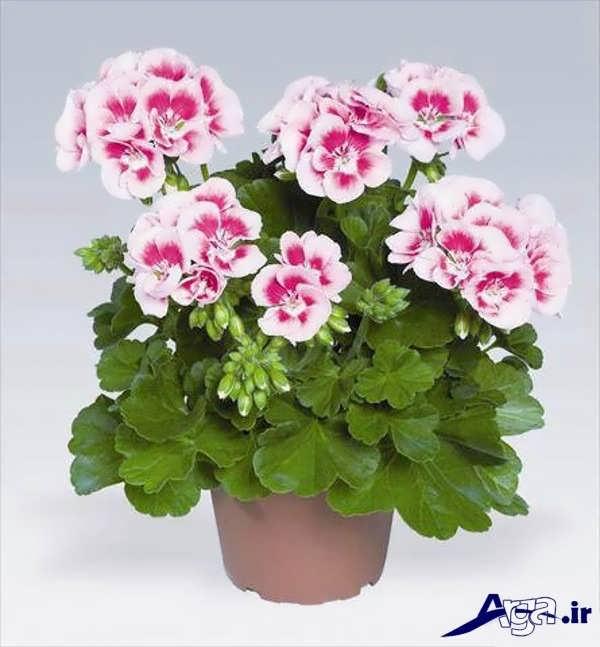 تصاویر گل های زیبا شمعدونی