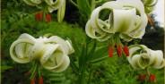 عکس های گل سوسن