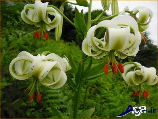 عکس گل سوسن جذاب