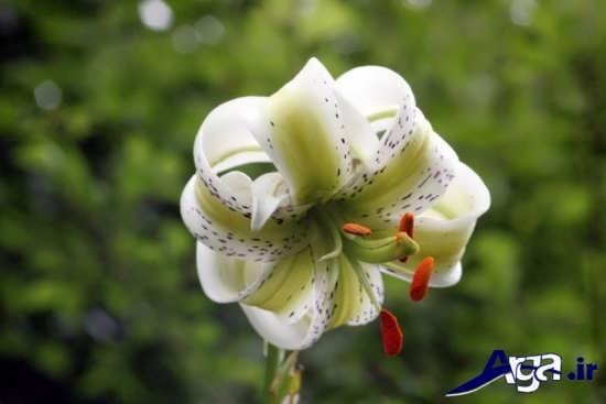 عکس گل سوسن زیبا