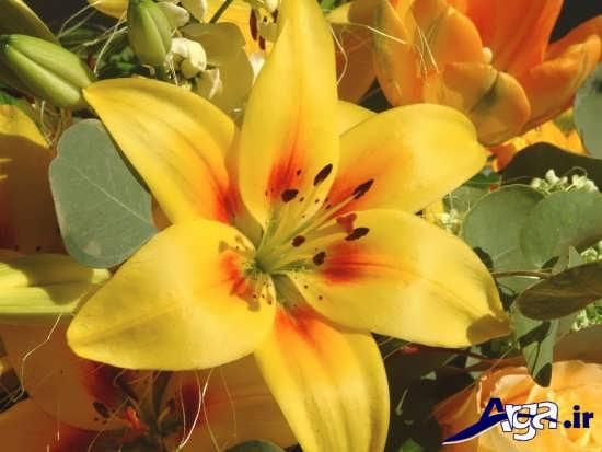عکس گل سوسن زرد