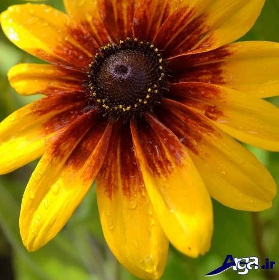 گونه های متنوع گل سوسن