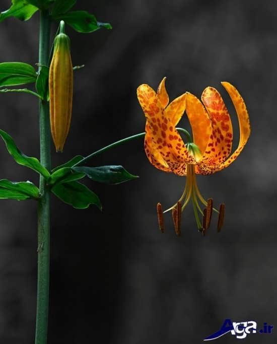 عکس گل و غنچه گل سوسن