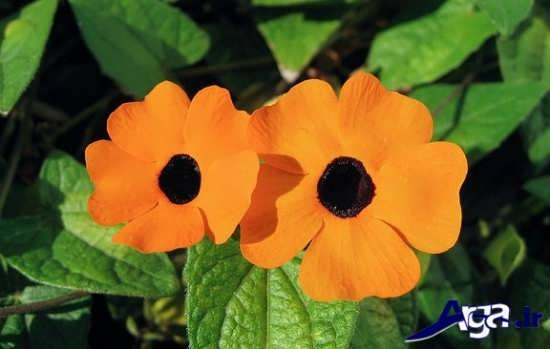 عکس گل سوسن چشم سیاه