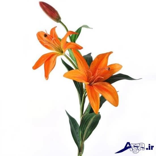 گل سوسن خوشرنگ