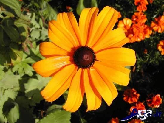 مجموعه عکس گل سوسن