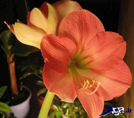 گل سوسن صورتی