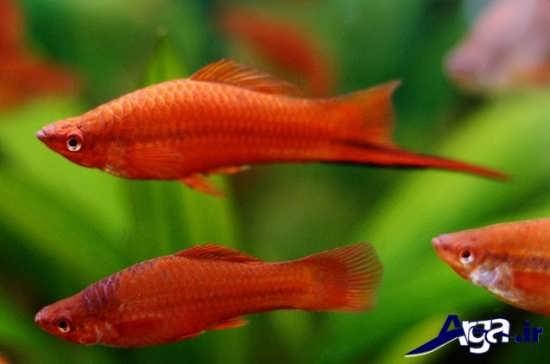 عکس ماهی دم شمشیری