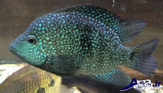 عکس ماهی سیچلاید تگزاس