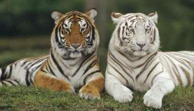 عکس ببر سفید و نارنجی