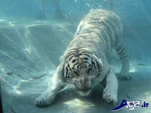 عکس ببر در زیر آب