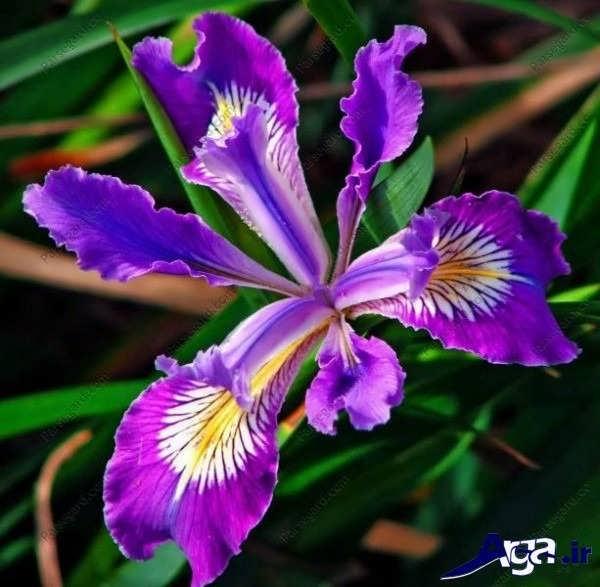 تصاویر گل های زیبا زنبق