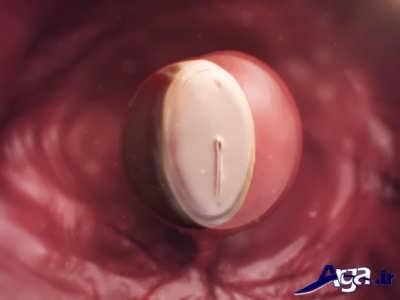 مرحله های تشکیل جنین