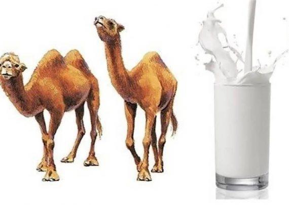 خواص مختلف شیر شتر