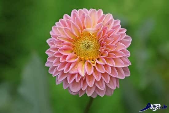 گل داودی زیبا و جذاب