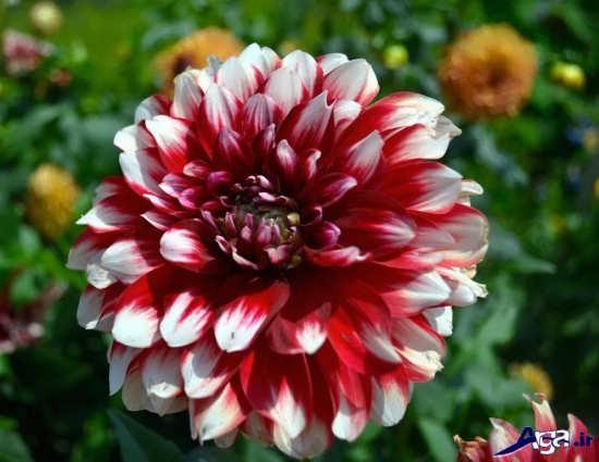 عکس گل زیبا و دیدنی