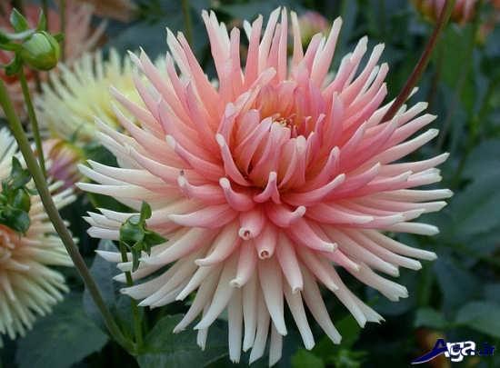 ععکس زیباترین گلهای طبیعی در دنیا