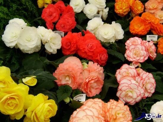 عکس گل بگونیا