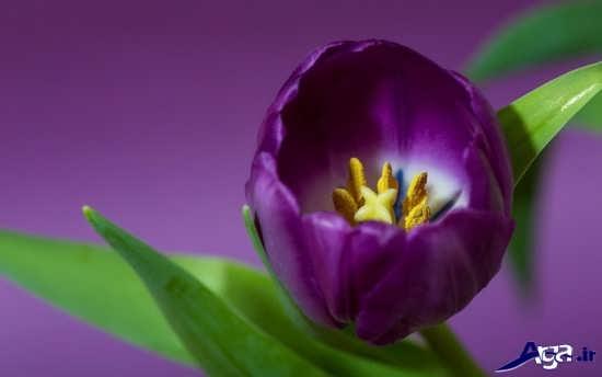 عکس گل لاله زیبا