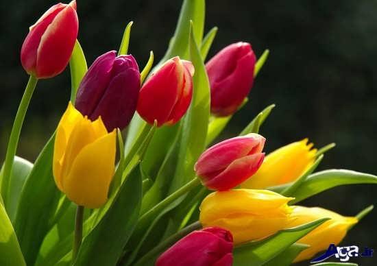 گل لاله زیبا و دیدنی