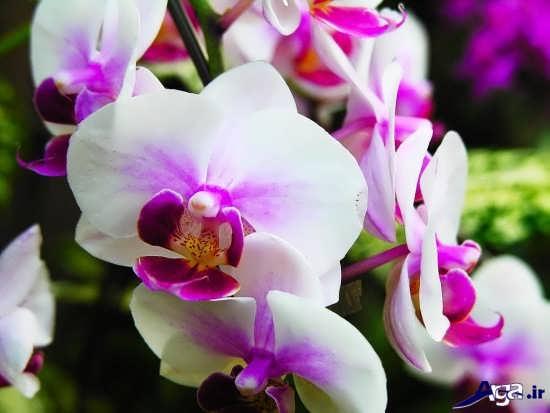 گل ارکیده زیبا و دیدنی