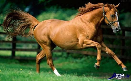 عکس اسب عرب