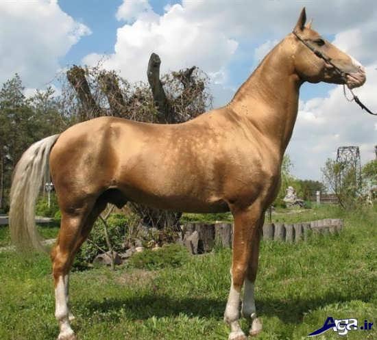 عکس های زیباترین اسب ترکمن