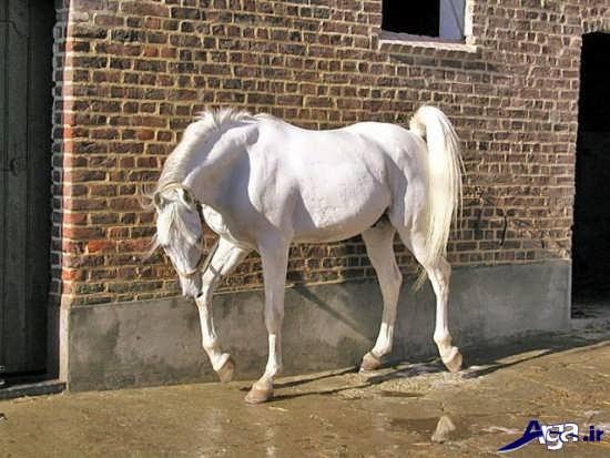 تصاویر اسب سفید