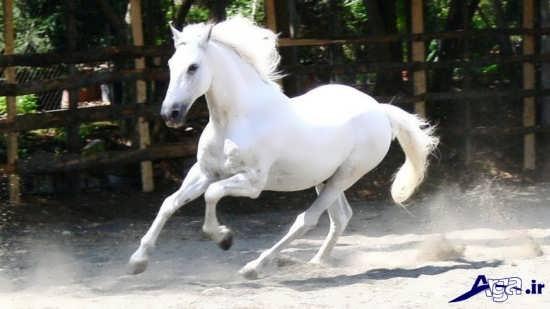 زیباترین اسب سفید