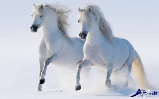 اسب های سفید و دیدنی