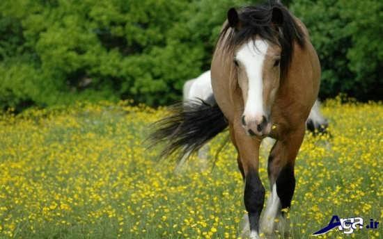 اسب اصیل ایرانی