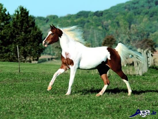 اسب زیبای دو رنگ