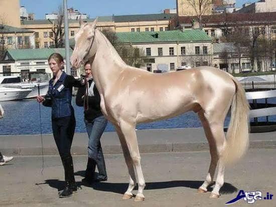 اسب زیبای ترکمن