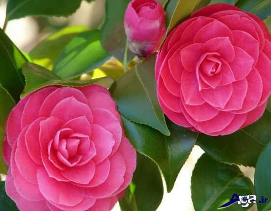 گل کاملیای صورتی