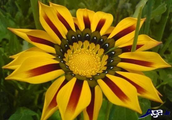 عکس گل گازالیا