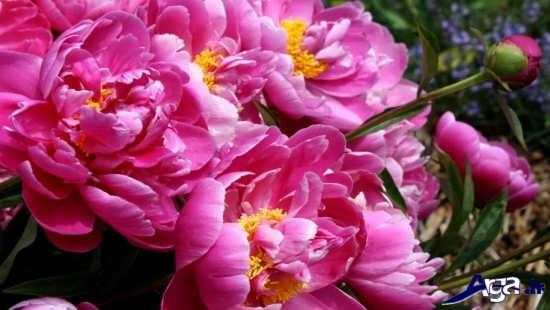 گل زیبا و قشنگ طبیعی