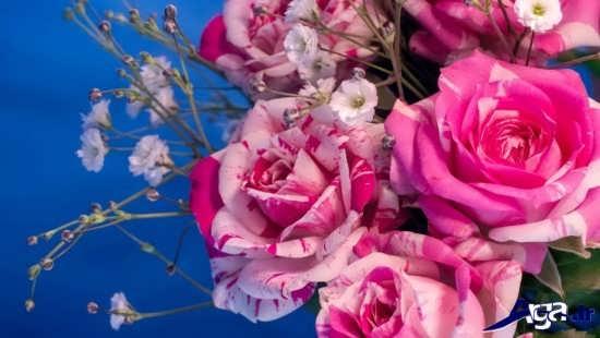 عکس گل رز زیبا و خاص