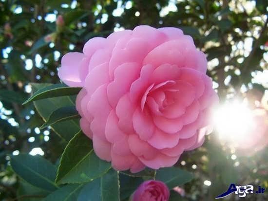 کمیاب ترین گل دنیا
