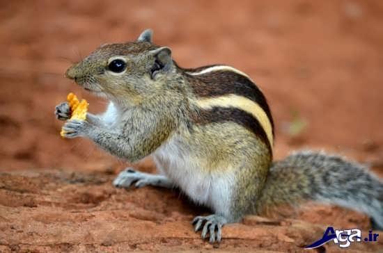 عکس زیبای سنجاب خانگی